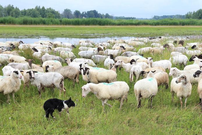 Een bordercollie is een geboren schapendrijver.
