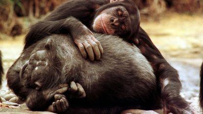 Wie heeft het properste bed, de chimpansee of de mens? Het antwoord zal je verbazen