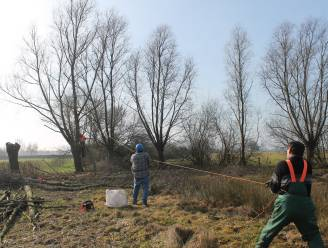 Regionale Landschappen doen bij start knotseizoen oproep naar vrijwilligers die mee aan het landschap willen werken