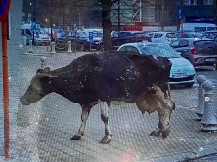 De koe viel uit een aanhangwagen, maar stelt het ondertussen weer goed.