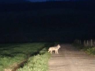Nieuwe wolf opgedoken, de vierde al in België