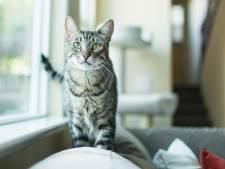 Pourquoi votre chat a le ventre qui pend