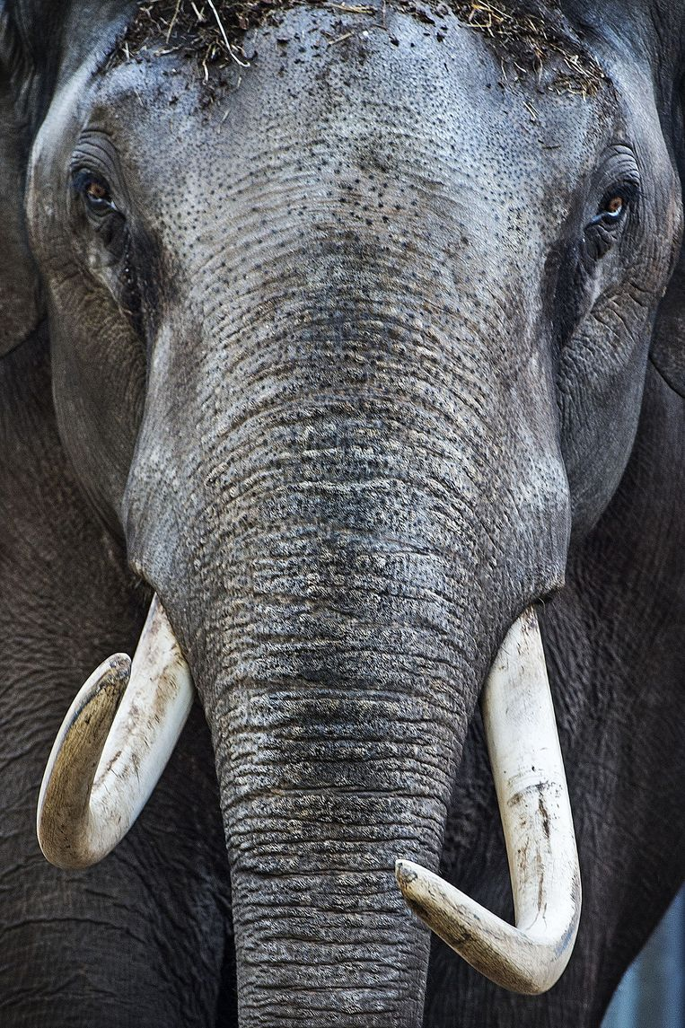 Olifanten hebben wel vaak een naam, ook deze huurling: Mekong. Beeld null
