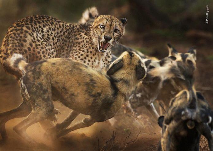 De kwaadste. Een luipaard heeft het aan de stok met een groep wilde honden in Zuid-Afrika