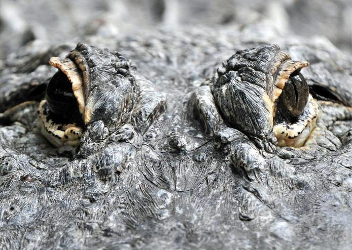 Alligators zijn opportunisten en grijpen alles dat zich eenvoudig laat overmeesteren.