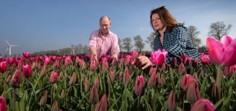 De tulpen bloeien! Flevoland maakt zich klaar voor (vroege) invasie van toeristen