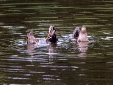 Brutale eenden in Emmeloord verhuizen naar dierentuin Emmen