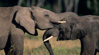 Trump schort invoer jachttrofeeën van olifanten op na felle kritiek