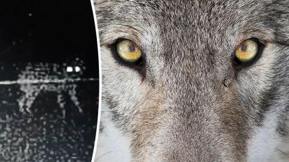 Voor het eerst bewegende beelden van wolvin Naya opgedoken