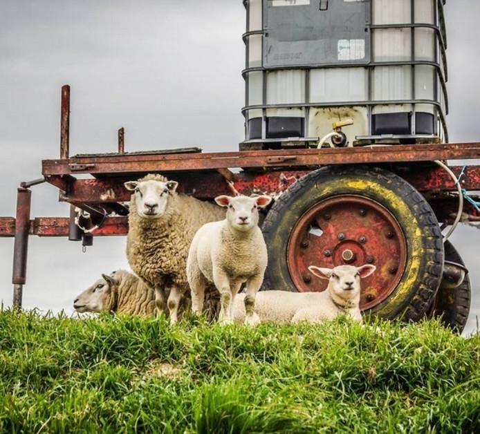 #nieuwgierige #schapen / #nosey #sheep