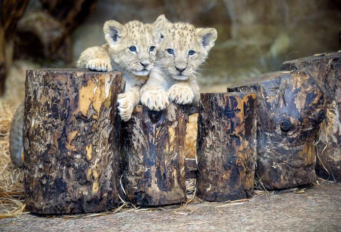 Twee leeuwenwelpjes, van nog geen twee maanden oud, mogen in de dierentuin van Sint-Petersburg voor het eerst op ontdekkingsreis in hun buitenverblijf. Foto Olga Maltseva