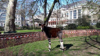 Leuk nieuws: okapi Zaïre mag voor het eerst buiten in de ZOO