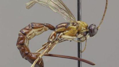 Nieuw ontdekte wespsoort heeft monsterangel
