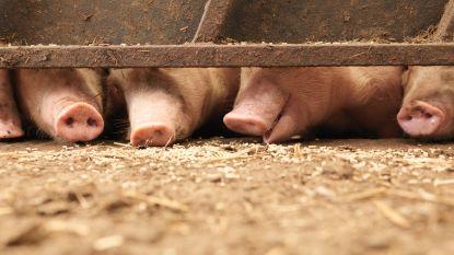 Waar komt het vandaan en hoe gevaarlijk is het echt? De Afrikaanse varkenspest in vijf vragen