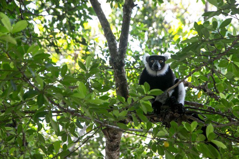 Een lemuur in een boom. Beeld AFP