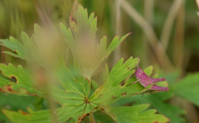 Ook op de bloemrijke velden van Roggebotstaete te Dronten is de roze sprinkhaan nu gesignaleerd.