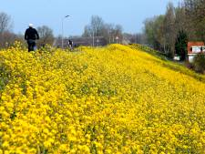 Vrolijk koolzaad geeft bermen van de Diefdijk in Leerdam een geel deken