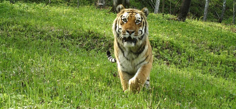 Zo reanimeert China de bijna uitgestorven Siberische tijger