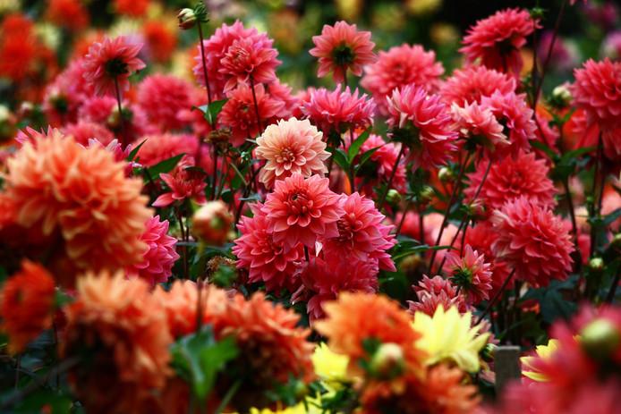 De dahlia's bloeien mooi bij Romke van de Kaa, zelfs nu ze niet binnen overwinterd hebben. Foto ter illustratie.