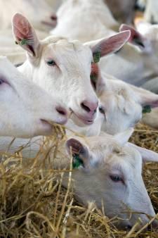 Geitenboer in de knel door 'bewust lakse houding gemeente Uden'
