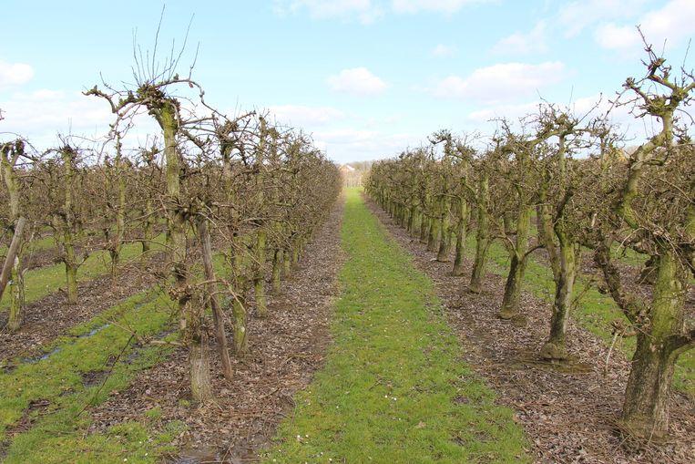 Lopen tussen rustieke appel- en perenboomgaarden.