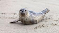 Recordaantal jonge zeehonden in Waddenzee