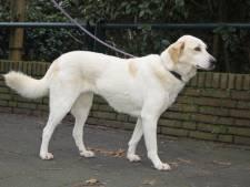 Rosy (6) lijkt op een blonde labrador, maar is een Turkse straatmeid