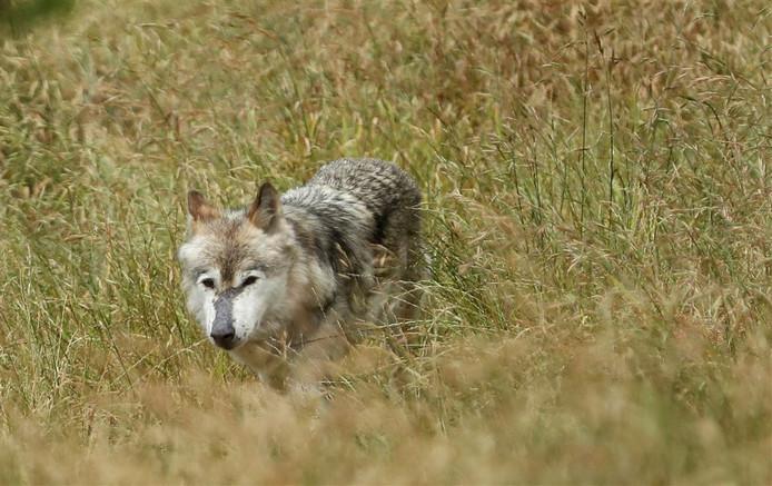 Wolf. Afbeelding ter illustratie