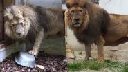 """Verwaarloosde leeuw Jon stelt het na kleine maand al veel beter: """"Meer dan 20 kilo bijgekomen"""""""