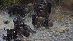 Miljoen gnoes bedreigd door bouw van dam in Kenia