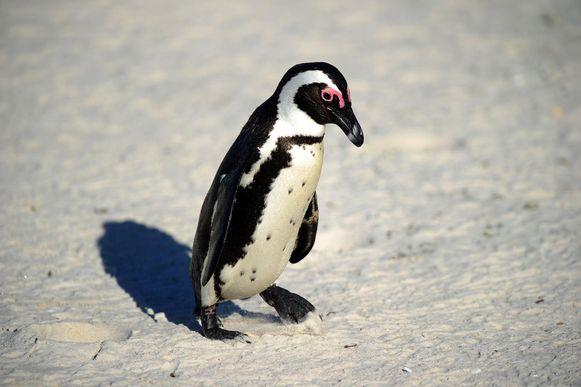 Een zwartvoetpinguïn in het Nationaal Park Tafelberg.