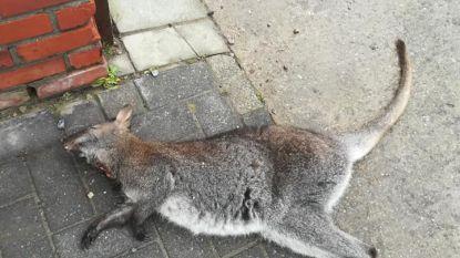 Avontuur van kangoeroe ten einde in 'Vallei van Serskampse beek': diertje doodgebeten teruggevonden