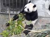 Agenda burgemeester zorgt voor verwarring over panda's