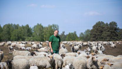 """Herder Pieter ging in quarantaine met gezin en honderden schapen: """"Corona? Wij hebben 280 lammetjes op de wereld helpen zetten"""""""