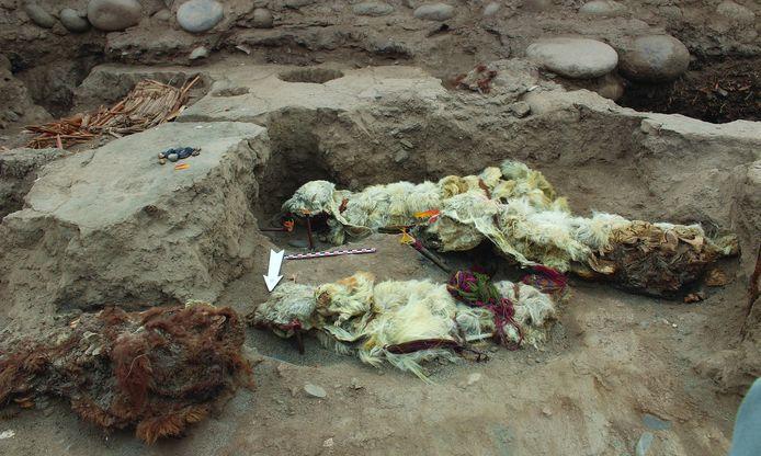 De lama's waren versierd met kostbare juwelen. Er lagen ook enkele cavia's in het graf.