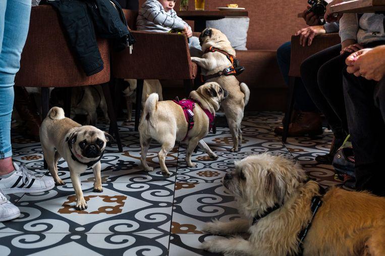 2018/03/11, Antwerpen, Belgium. n het Antwerpse restaurant De Natie komen zondag 150 mopshonden samen om nieuwe speelkameraadjes te maken. De baasjes slurpen ondertussen koffie en kunnen voor de professionele fotograaf op de foto met hun hond.