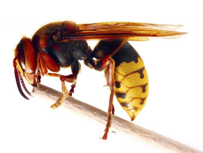 De Europese hoornaar