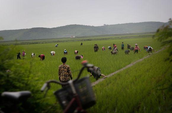 Noord-Koreaanse mannen en vrouwen werken op de rijstvelden van Kangwŏn-do.