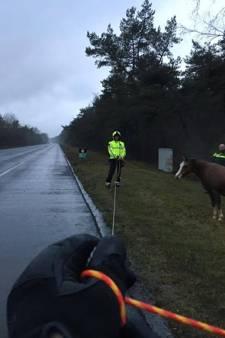 'Snelwegpaard' op A28 was ontsnapt uit weiland bij Doornspijk en werd achtervolgd door prikkeldraad