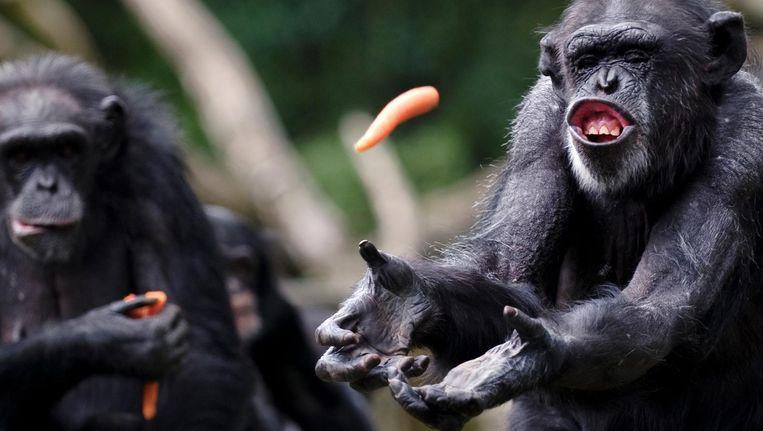 De chimpansees in Burgers Zoo in Arnhem. Beeld anp
