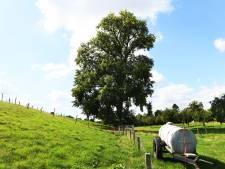 Zwarte Populier Opijnen niet mooiste boom van Nederland