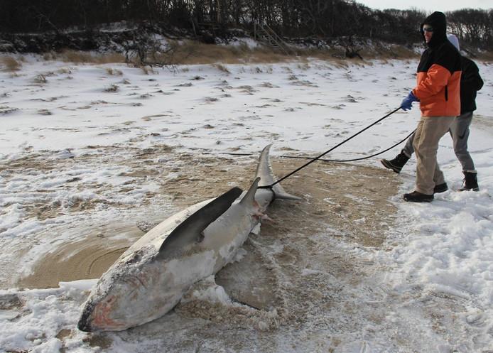 Bevroren haaien aangespoeld op de kust
