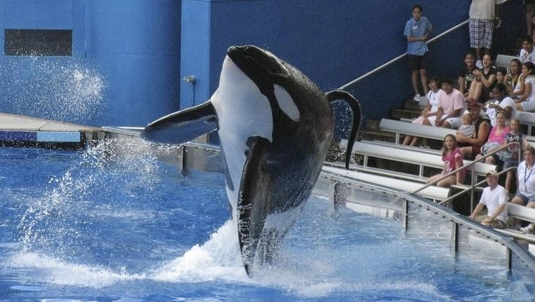 Orca Tilikum. Beeld Reuters