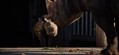 Gemist? Babyneushoorn mag voor het eerst naar buiten en zieke Rotterdamse wacht maanden op toilet