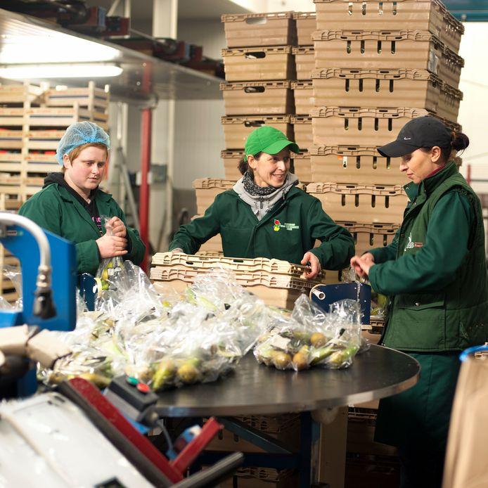 Archieffoto: Poolse werknemers sorteren peren op het fruitteeltbedrijf Van Damme in Nisse.