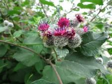 Achttien nieuwe wilde planten ontdekt in de Hoeksche Waard
