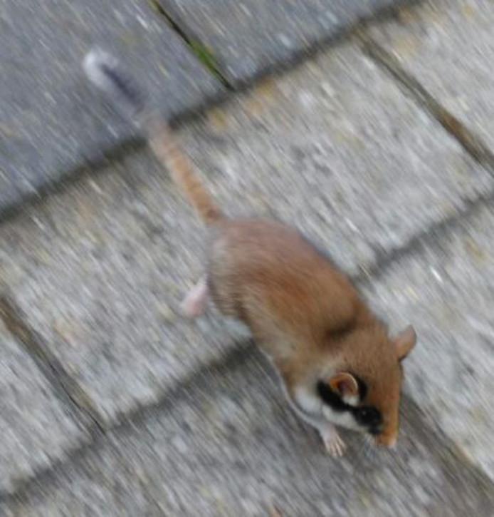 De Staphorster eikelmus vlucht naar een veilig onderkomen.