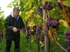 Achterhoekse wijnboeren positief over oogst