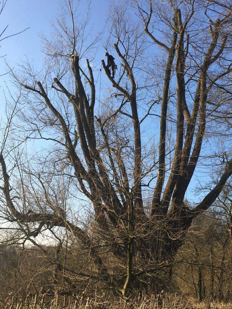 Een boomspecialist heeft met behulp van touwen bovenin de kruin postgevat om de zware takken te snoeien.