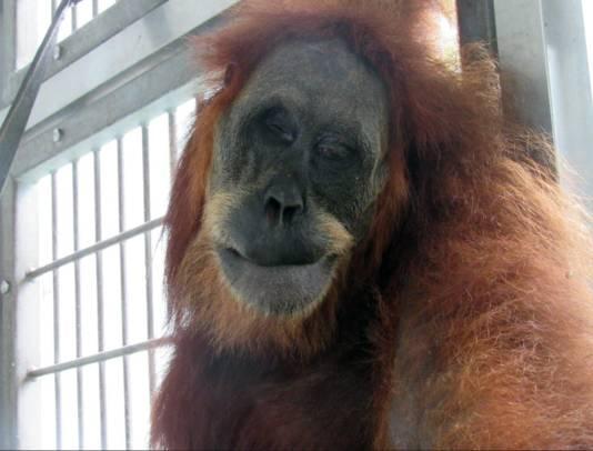 De zwaargewonde apenmoeder werd beschoten en gestoken, waardoor ze blind raakte.